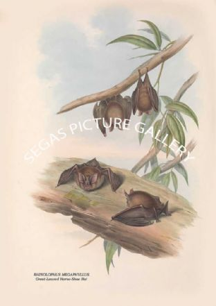 RHINOLOPHUS MEGAPHYLLUS - Great-Leaved Horse-Shoe Bat